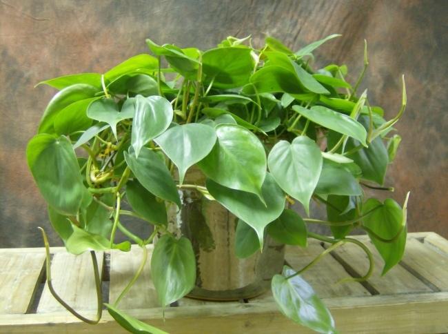 Домашние растения, которые могут выжить даже в самом темном углу, изображение №7